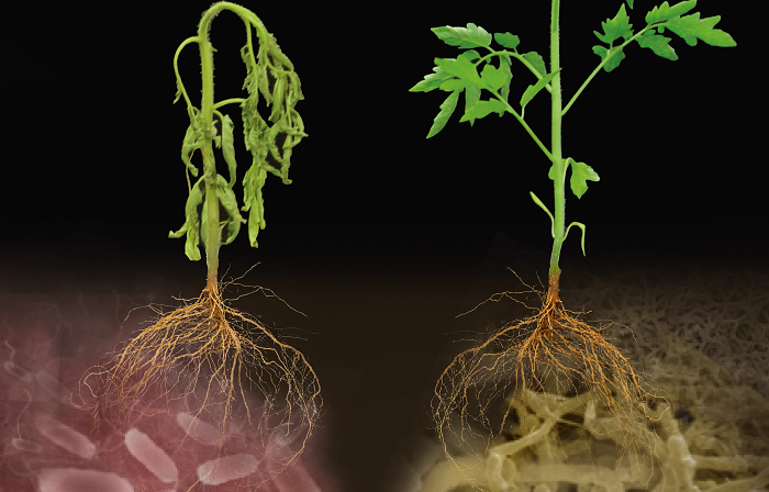 Microbial Mercenaries for Plant Disease Resistance Ungrounded